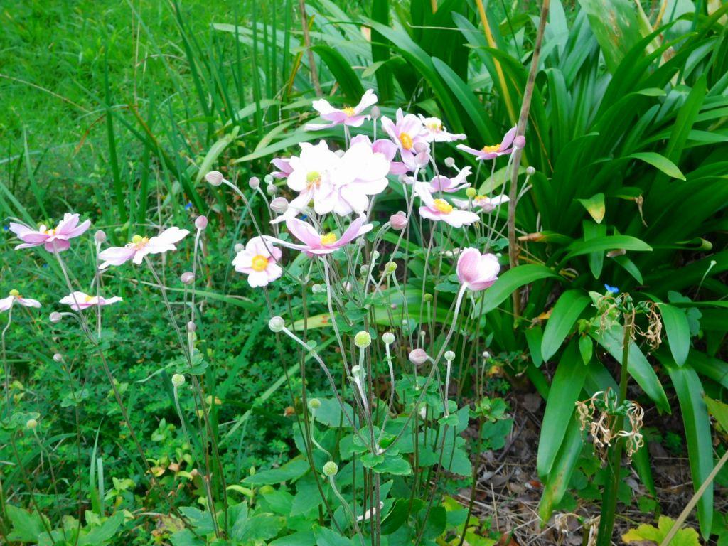 小黒公園には秋明菊が咲いてました