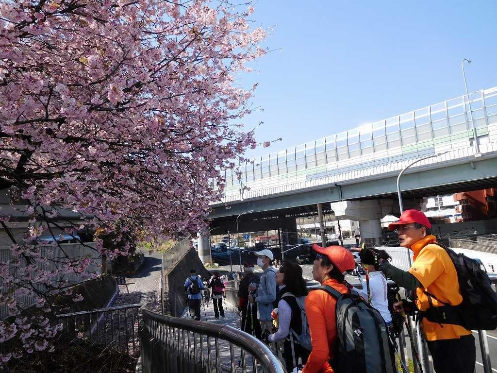 江田駅前の有名な桜は鵯が何羽も桜の蜜を吸い囀っていました