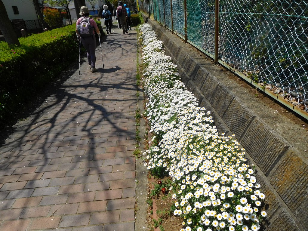 荏田高校横の花壇も鼻で一杯です この花はマーガレット?