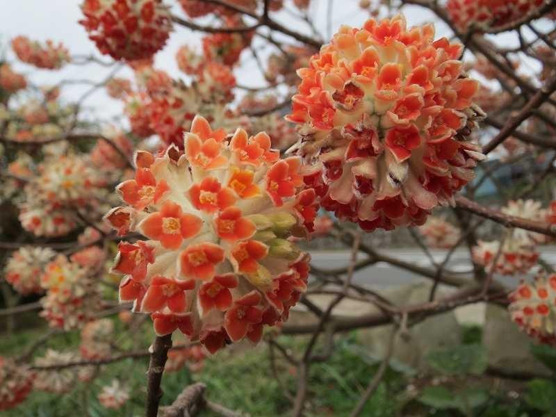 常泉寺の三椏は有名だと聞きましたが、本当に綺麗