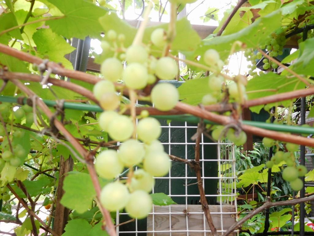 ブドウも実っています  何時頃収穫するのでしょうね