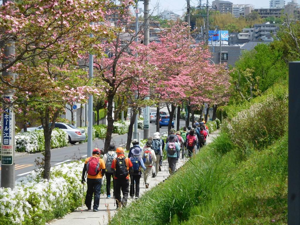 ピンクの花水木と白い躑躅を観賞しながら歩く