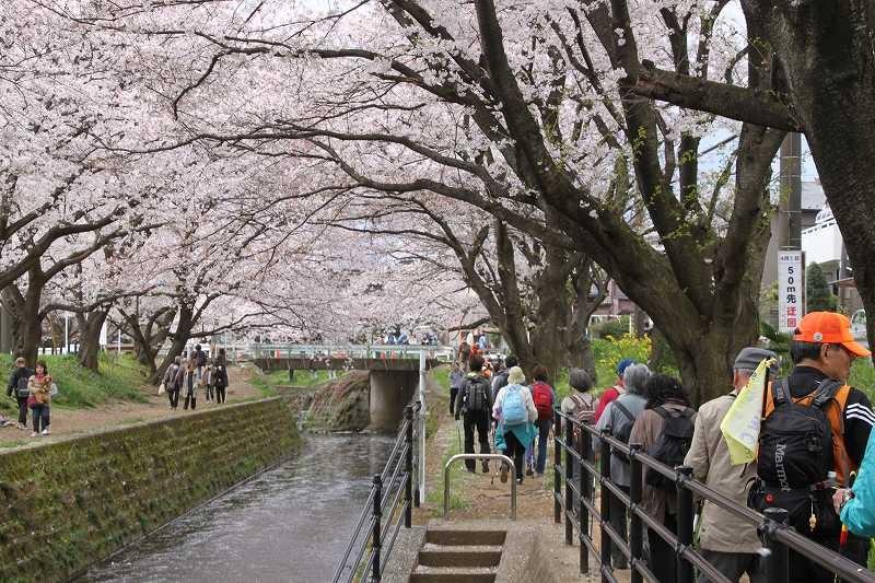 他の観桜客の邪魔をしないように気をつけてウォーキング