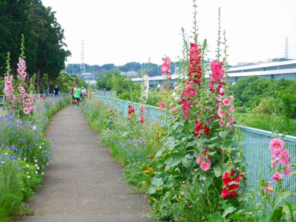 鶴見川沿いに咲いているタチアオイは満開でした