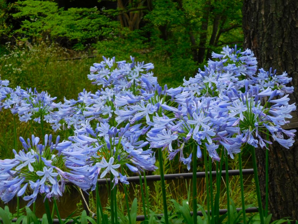 アガパンサスの花が満開です