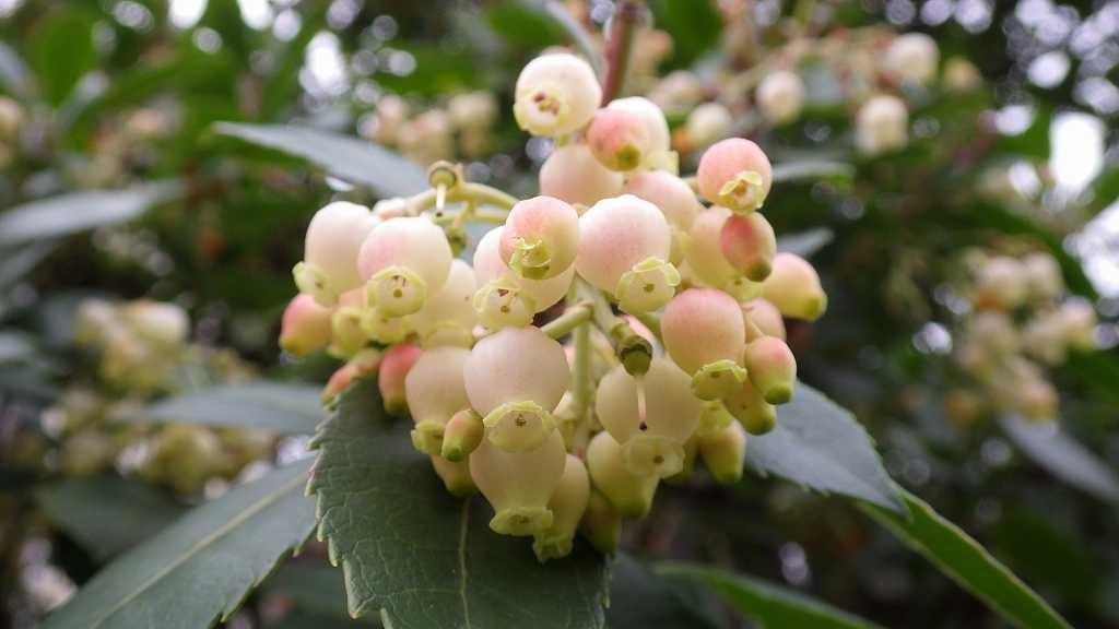 ドウダンツツジに良く似たストロベリーツリーの花