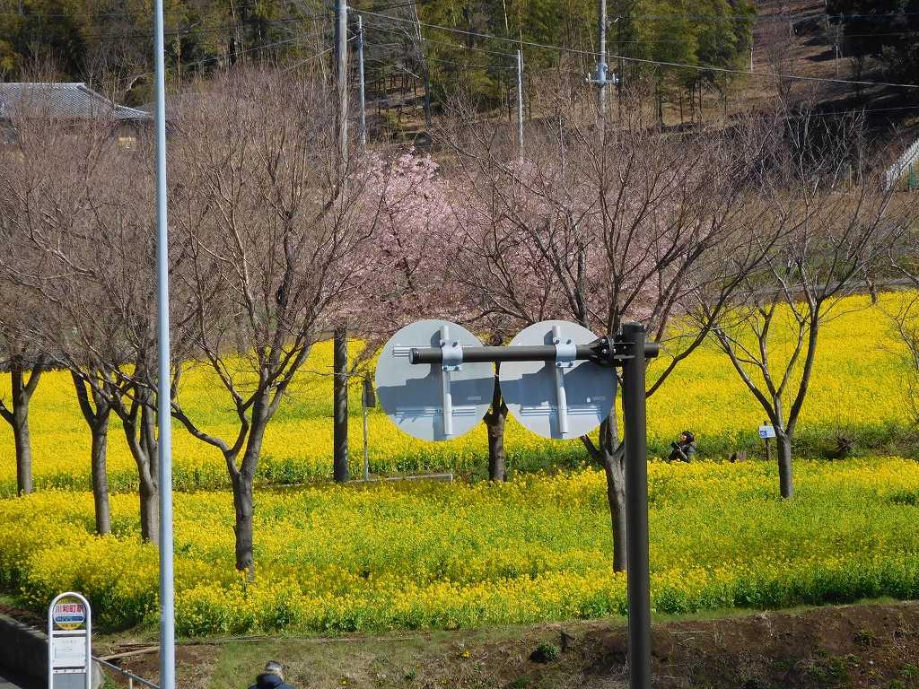 川和駅から見える菜の花畑 見事ですね