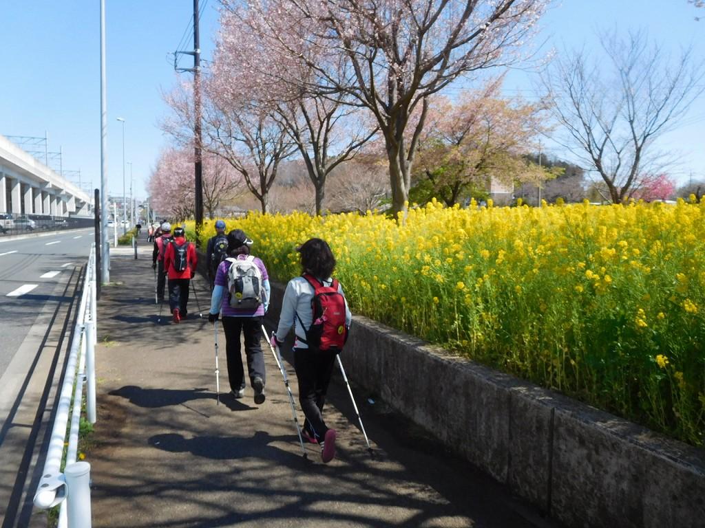 菜の花の黄色が青空に映えてます