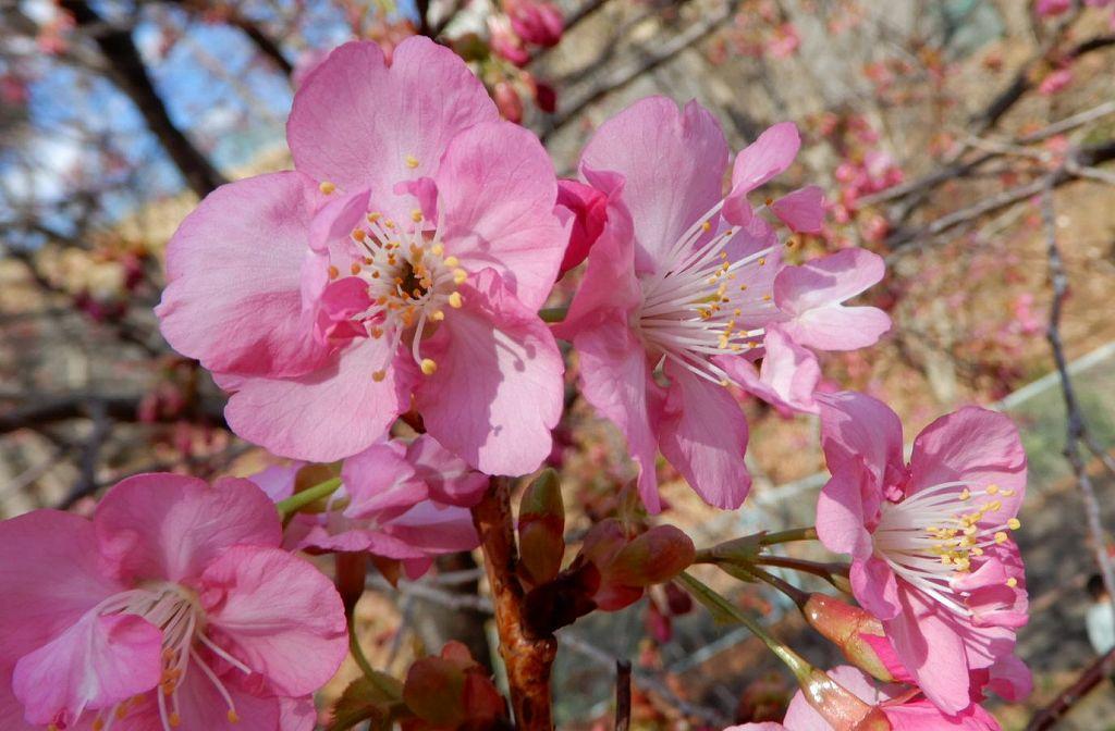 雄蕊の先に花弁が・・・・珍しいですね 何という桜でしょう