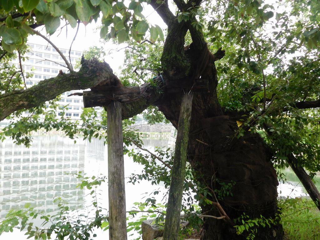 被爆から75年の被爆樹林