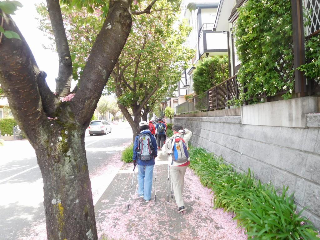 八重桜は少し遅かったですが歩道には花びらでピンクの絨毯状です
