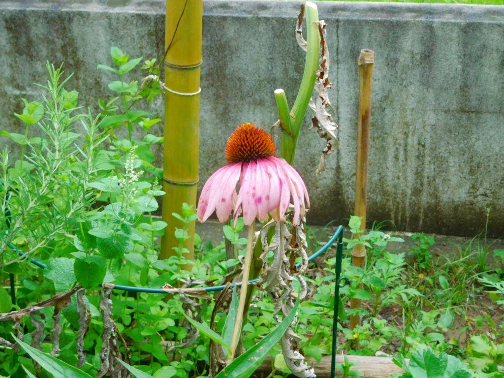 エキナセアの花も盛り過ぎて哀れ!!