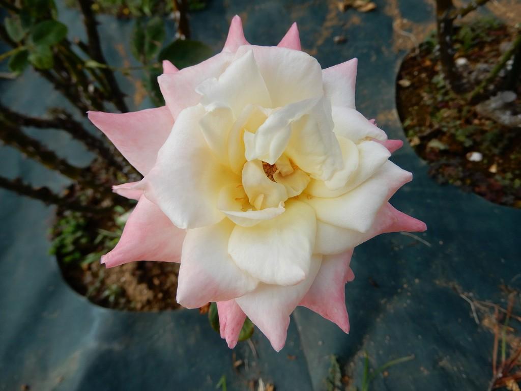黄・白・ピンク色の「プリンセスマーガレットローズ」