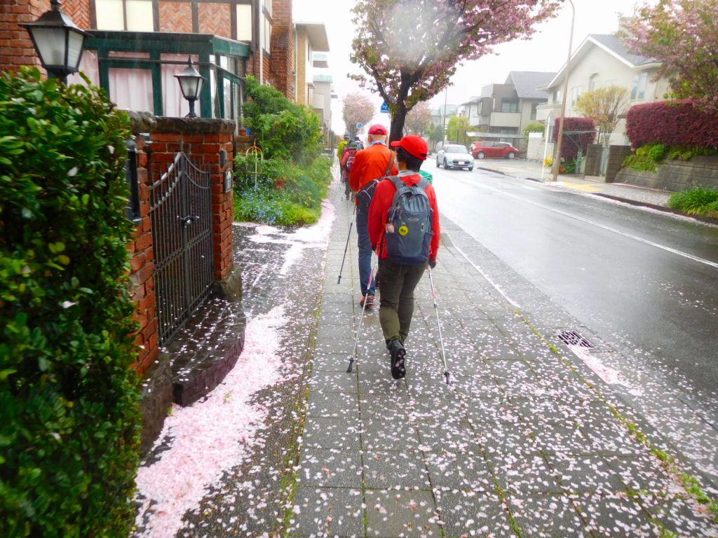 みすずが丘信号からは八重桜の街路樹です