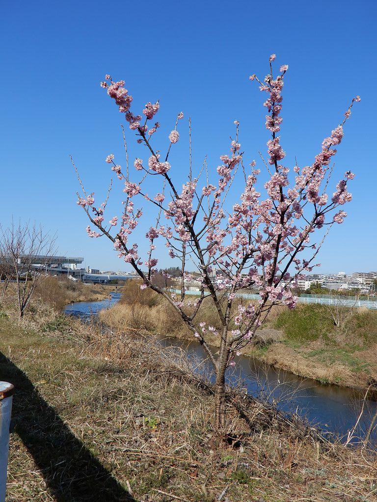 鶴見川に植樹されたの桜の中で一本だけ咲いていました
