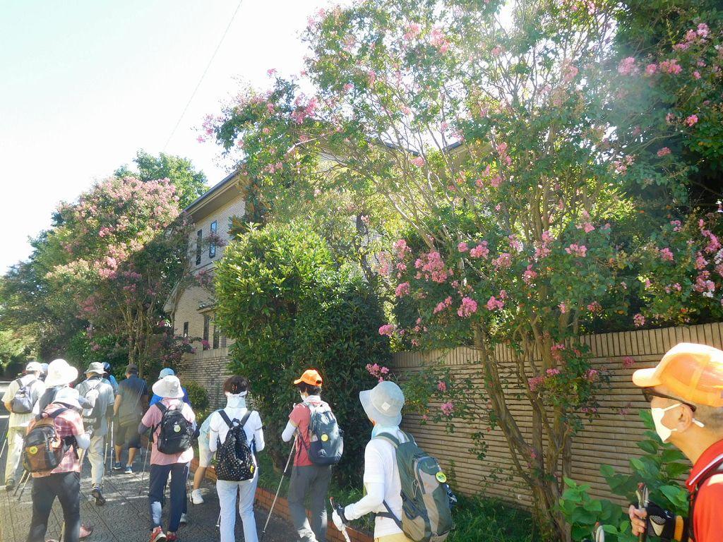 女性群も列に戻り百日紅の花を眺めウォーキング