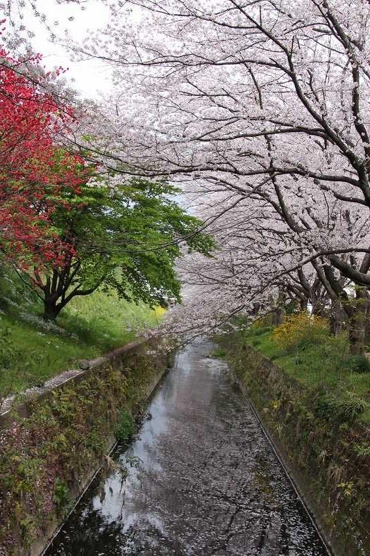 川の両岸に桜・桜
