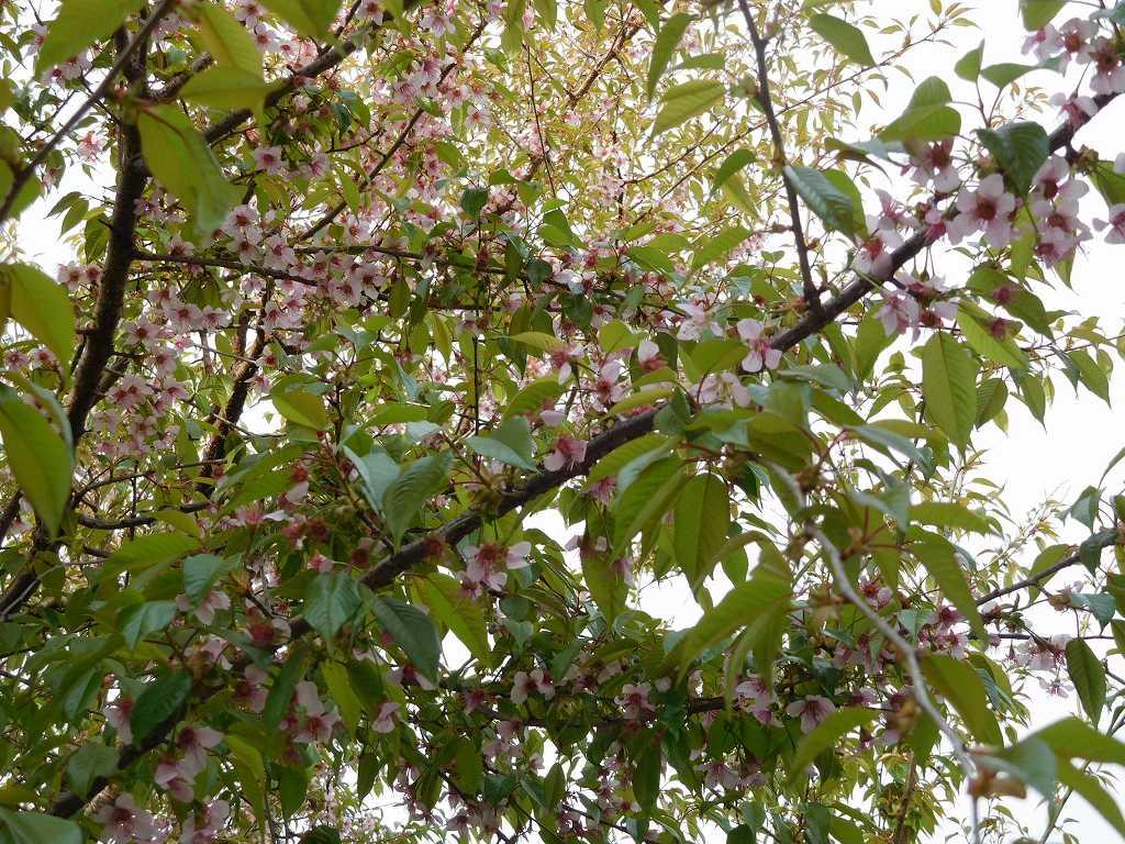 藤ヶ丘地区センターのヒマラヤ桜