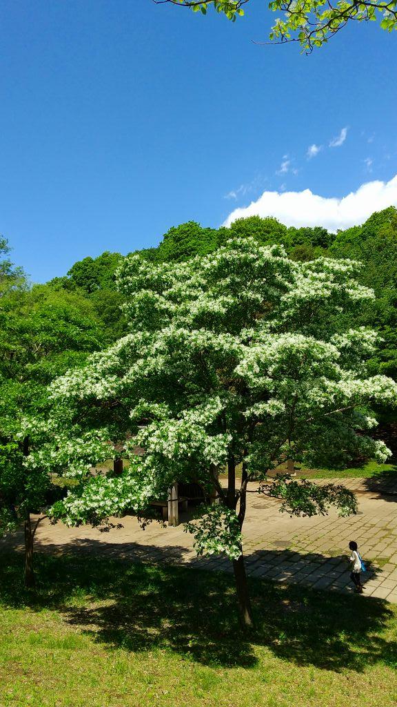ナンジャモンジャの高木