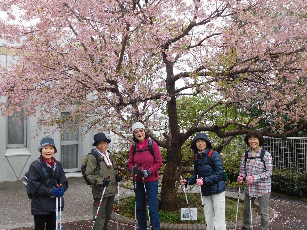 今年の桜は素晴らしい  蜜を吸いにメジロも数羽飛来している