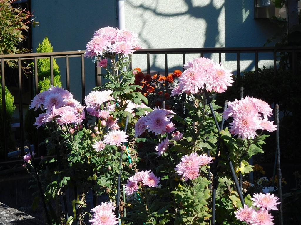 途中のお宅には菊が一杯咲いてます