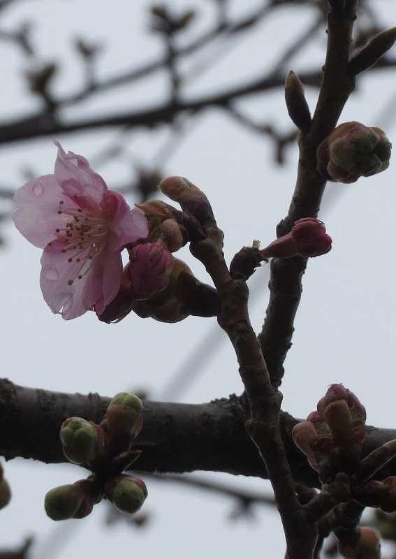 谷本公園の河津桜も一輪・二輪咲いて楽しませてもらった