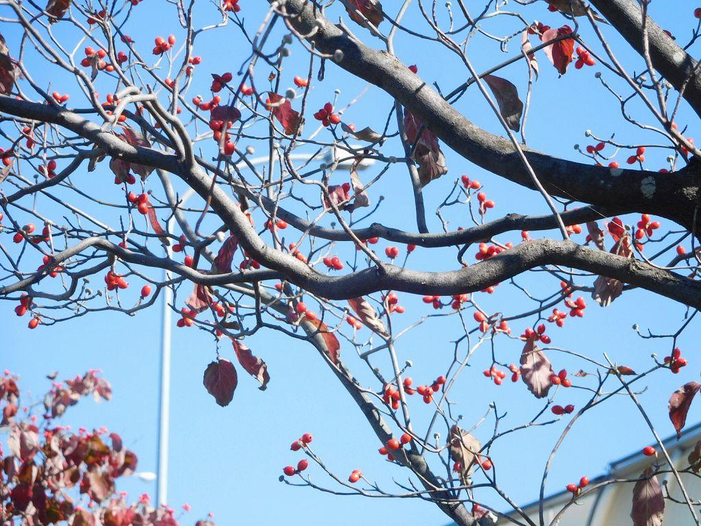 花水木の真赤なな実が綺麗です