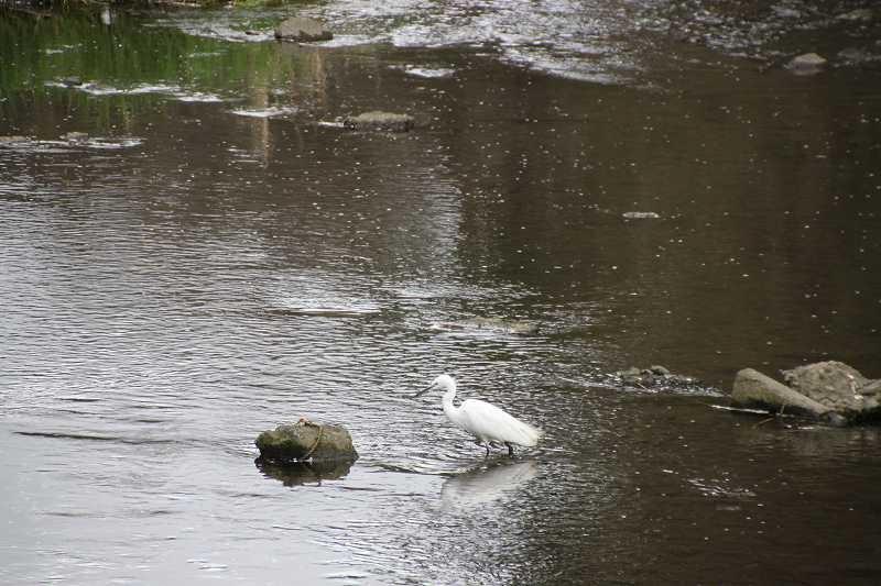 引地川には白鷺も姿を見せ歓迎!!