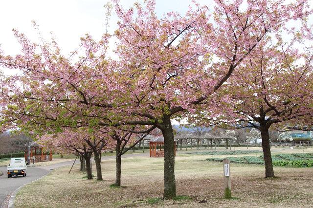 河津桜は見ごろ過ぎていますね