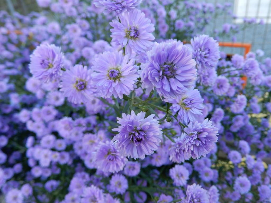 旅館の近所に紫の花が綺麗でした