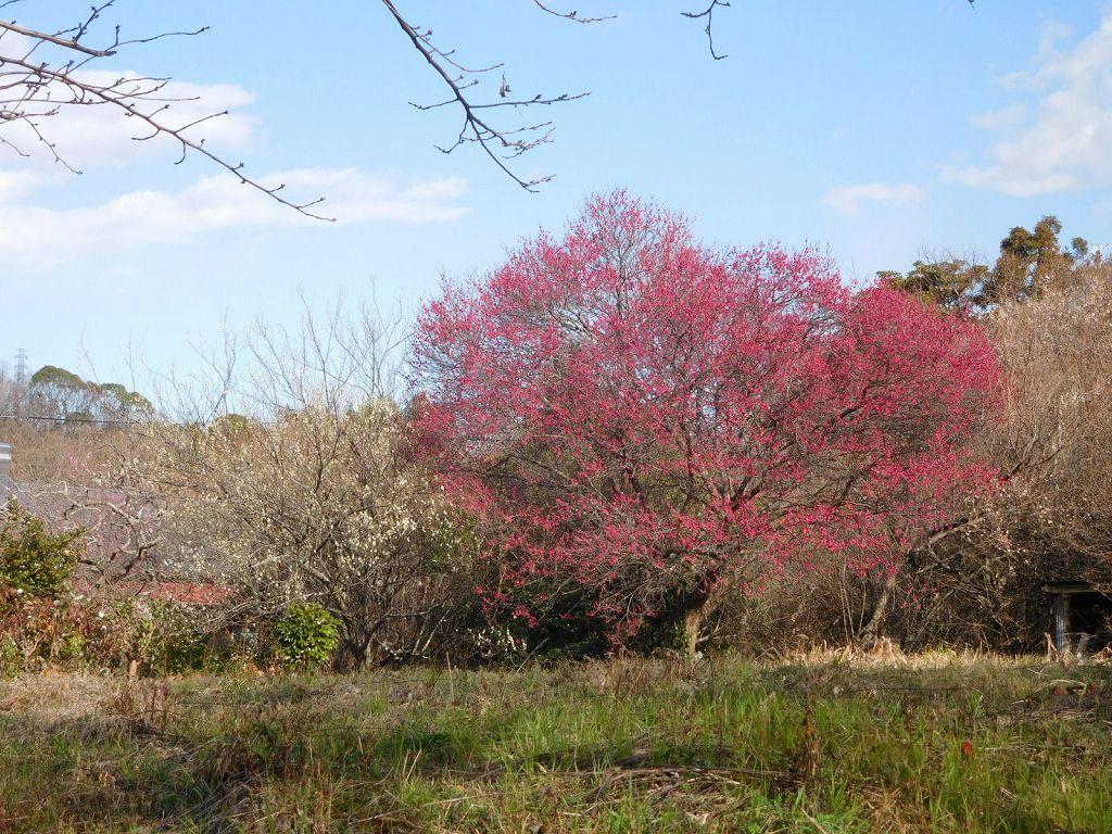 吾妻山公園の満開となった梅