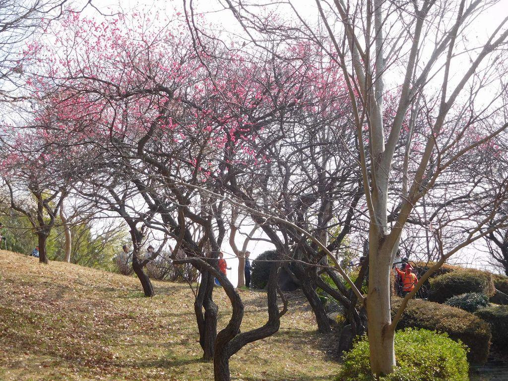 梅の木の間を歩いて降りる