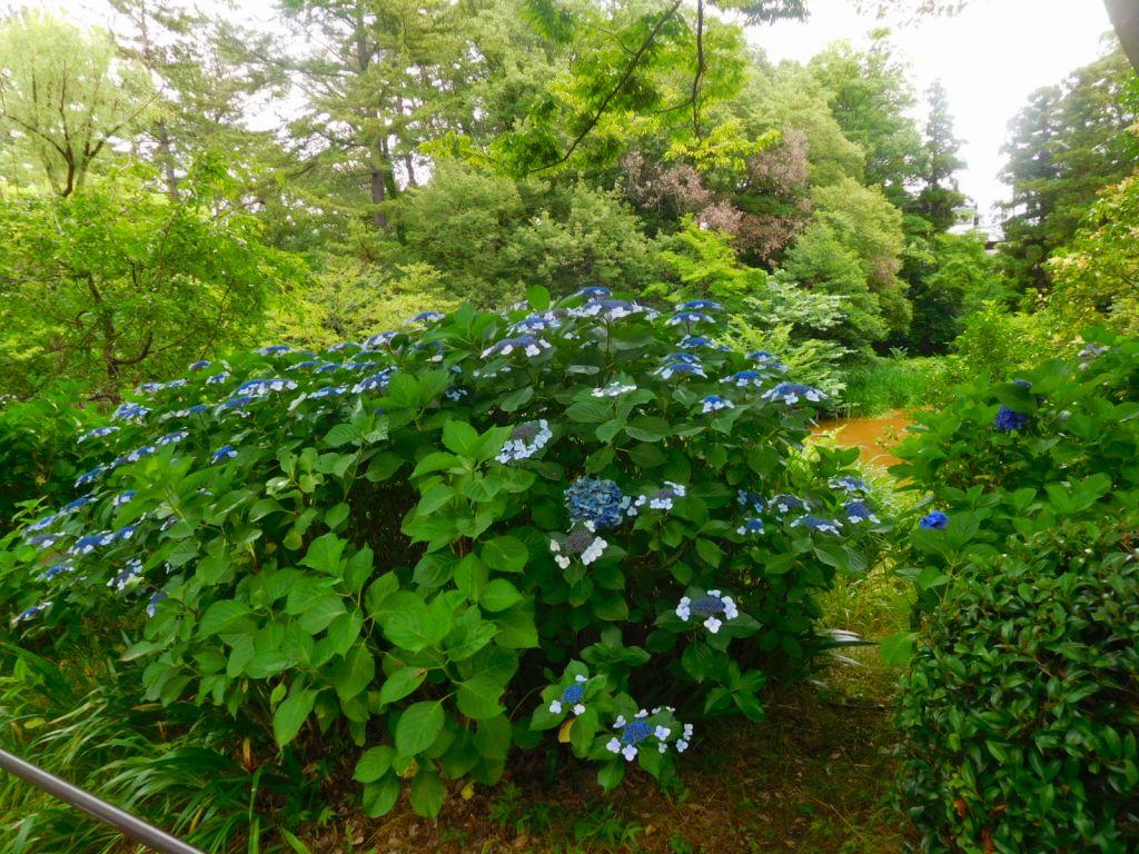 藤が丘公園入口の紫陽花は綺麗な青色です