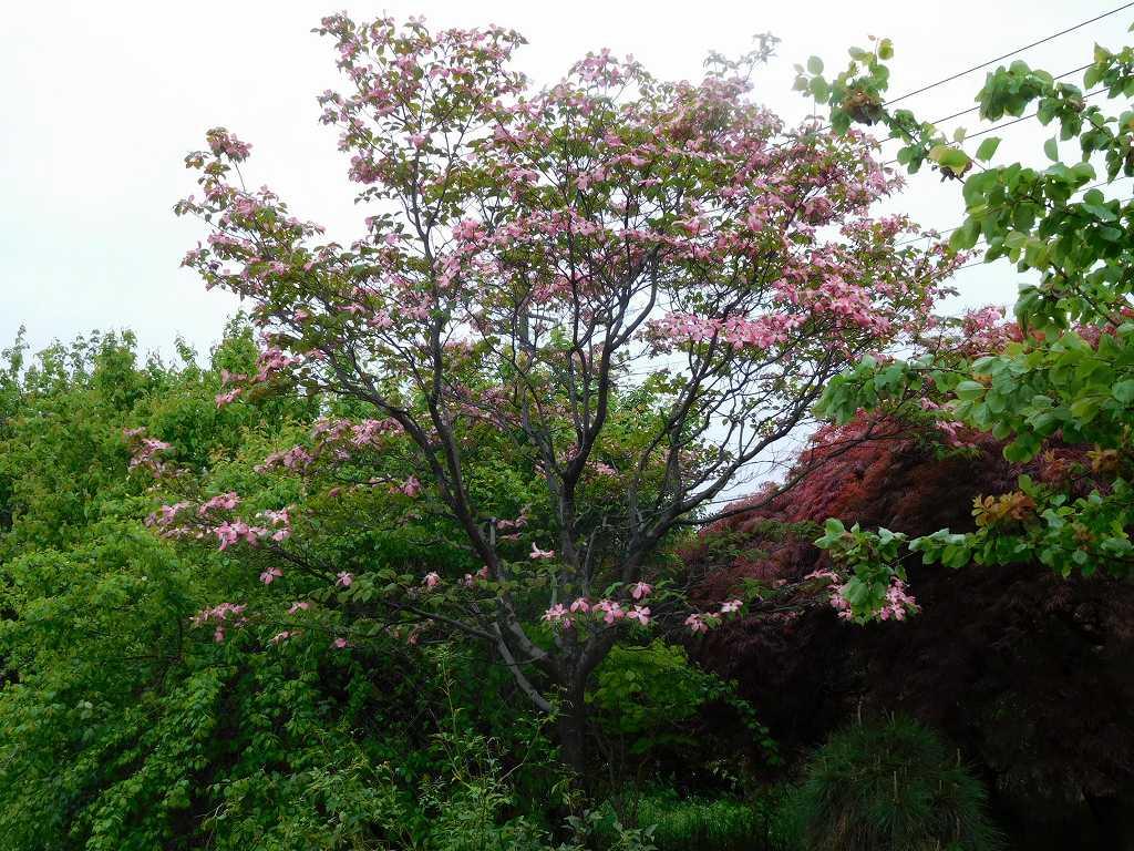 花水木も咲いてきて綺麗ですね