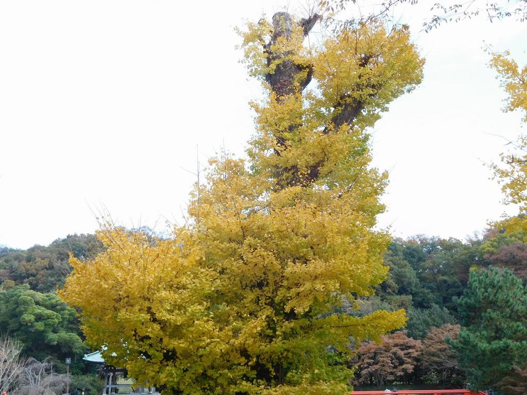 阿字ガ池の周りの銀杏の木は樹齢800年といわれ横浜市の名木古木に指定