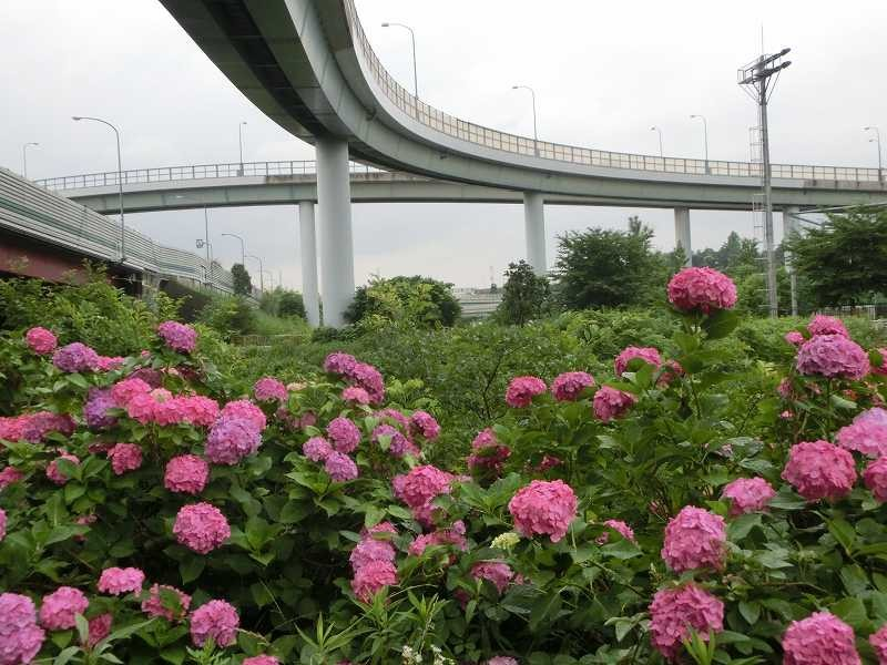鶴見川には紫陽花が満開!! 良い景色ですね