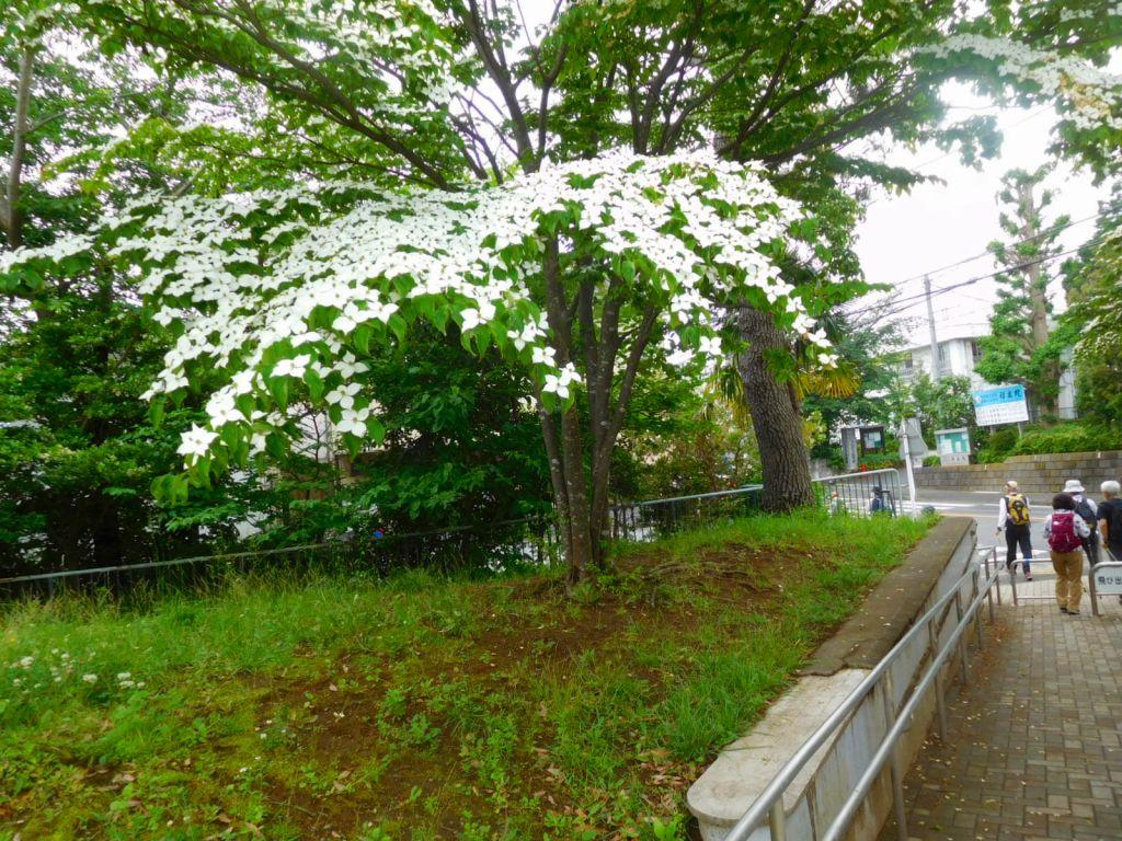 公園出口には山法師の花が満開