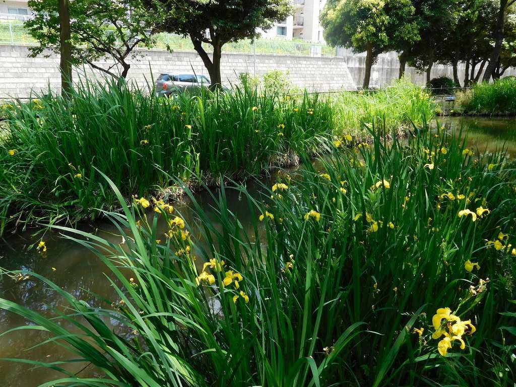 公園内には黄菖蒲が咲いていましたが既に満開は過ぎたようです