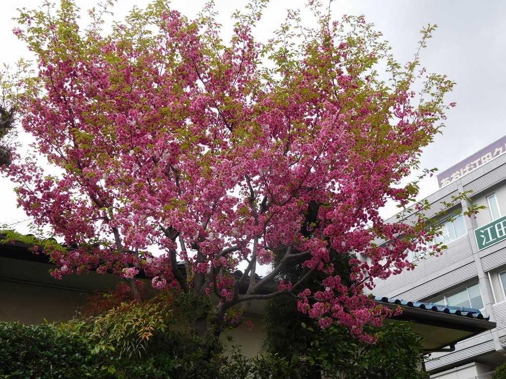 江田駅住宅街の八重桜は満開です