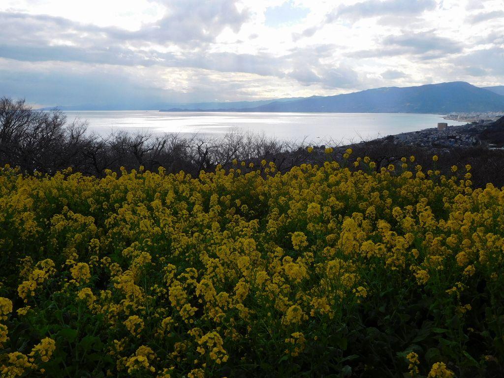 駿河湾と菜の花