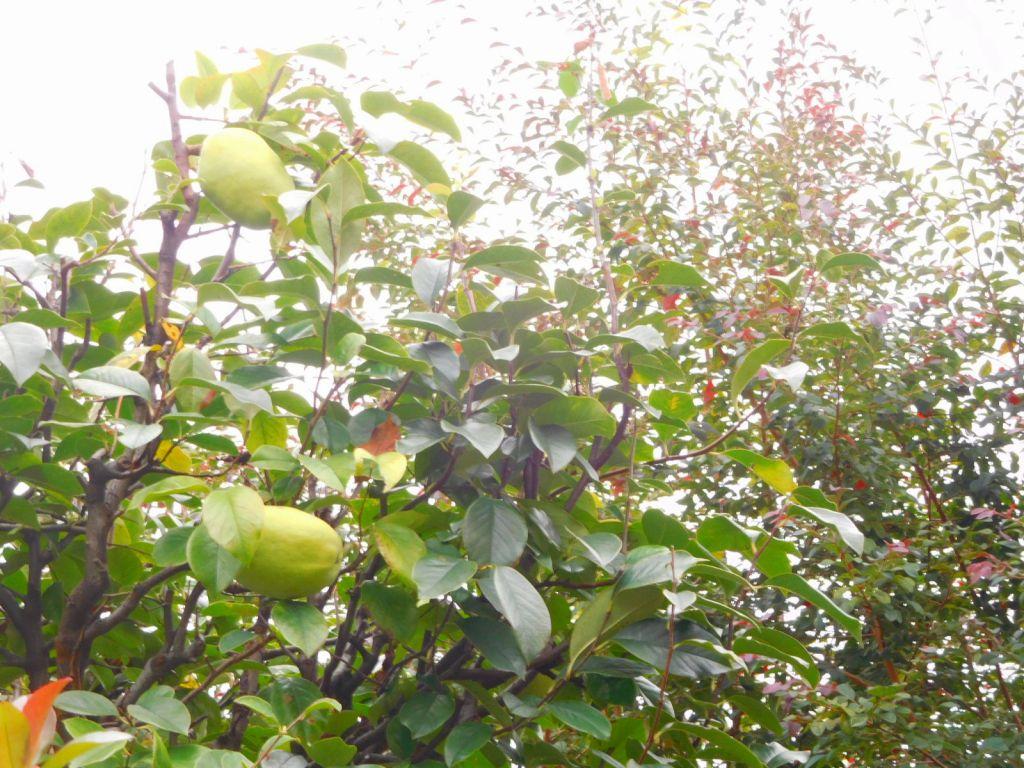 同 花梨の実