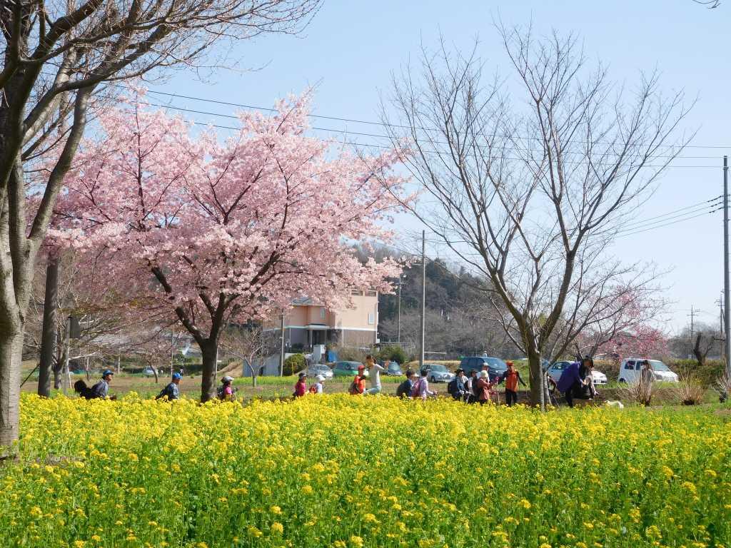 青空・桜・菜の花の黄色と緑色 綺麗ですね~