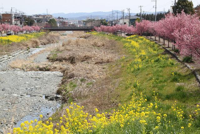 本当に水が無い川の両岸に桜・菜の花が満開です