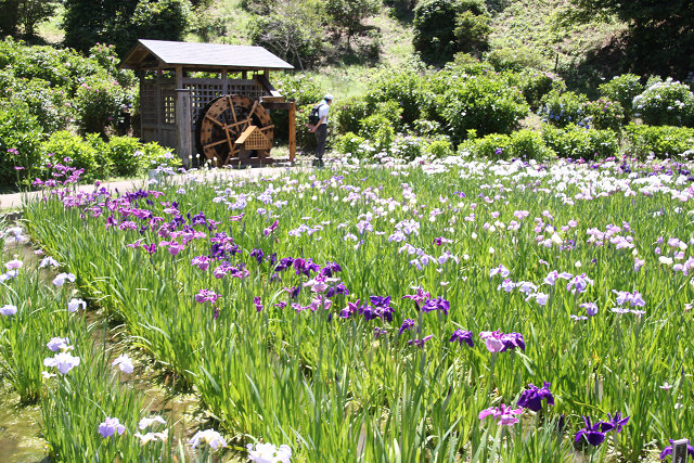 約7,000㎡の田に12品種 14万株の菖蒲が満開です