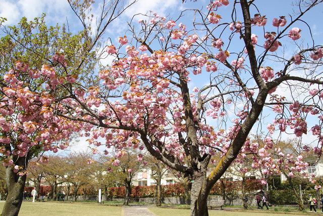 八重桜は満開で美しい