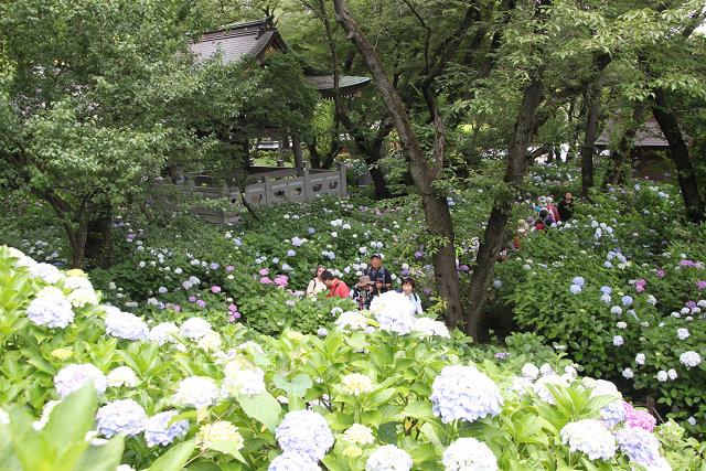 紫陽花に埋もれながら観賞する参加者
