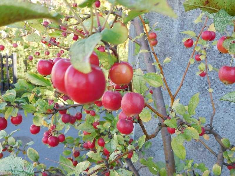 道沿いには林檎の実が一杯 食べるにはもう少し熟れないと・・・・