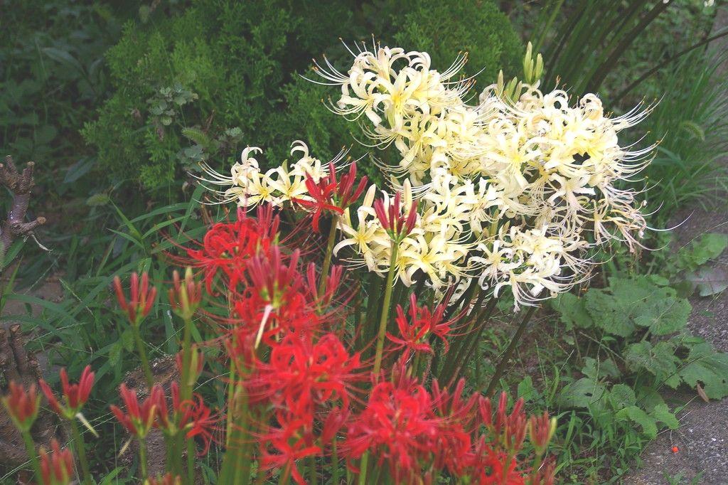 谷本公園までの鶴見川沿いには彼岸花が咲いてます 秋ですね!!