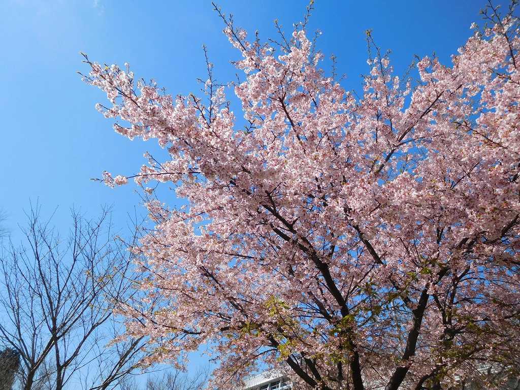 青空の桜が映えています、大勢のカメラマンも良いポジションで撮っています