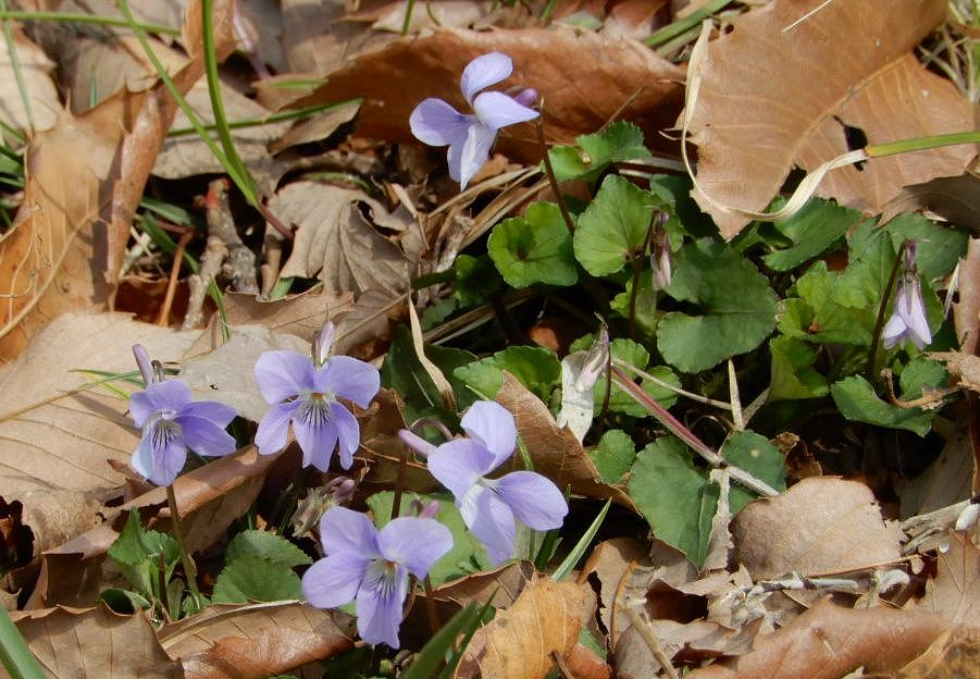 こもれびの丘に昨小さな花 アオイスミレ